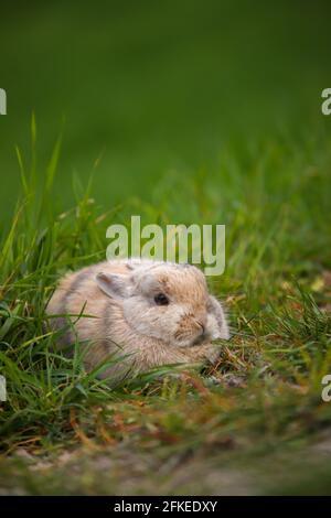 Petit lapin caché dans l'herbe