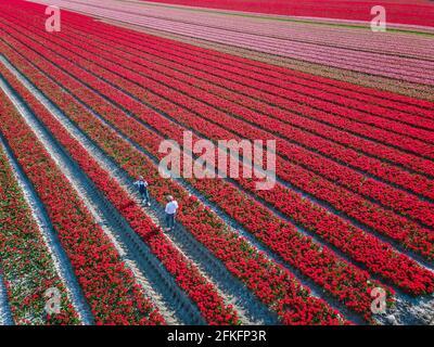 Champ de tulipes aux pays-Bas, champs de tulipes colorés à Flevoland Noordoosstpolder Hollande, vues de printemps néerlandais aux pays-Bas, couple homme et femme mi-âge dans champ de fleurs