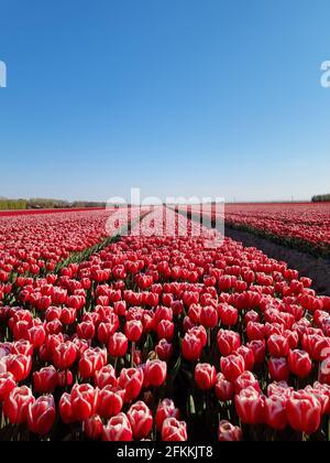 Champ de tulipes aux pays-Bas, champs de tulipes colorés à Flevoland Noordoosstpolder Hollande, vues sur le printemps hollandais aux pays-Bas