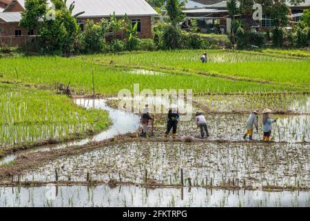 Champ de riz à Tebedu, Serian, Sarawak, Malaisie orientale