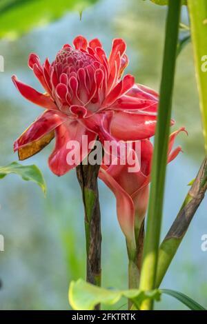 Fleur de gingembre rouge (Etlingera elatior), Abba Paradise, Taiton, Bau, Sarawak, Malaisie orientale