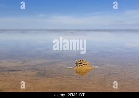 Ver à soie / ver à sable européen (marina d'Arenicola) coulée de sédiments déférés sur la plage à marée basse