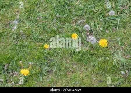 Plaque de fleurs de Dandelion / Taraxacum officinale poussant dans l'herbe et les semis. Pissenlit autrefois utilisé dans les remèdes à base de plantes médicinales et également les feuilles comestibles.