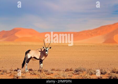 Gemsbok avec une dune de sable orange coucher de soleil. Gembuck, Oryx gazella, grand antilope dans l'habitat naturel, Sossusvlei, Namibie. Animaux sauvages dans le savan