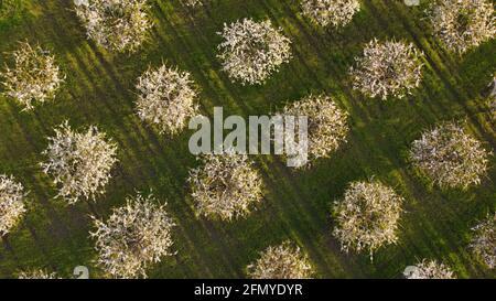 Vue aérienne depuis le drone volant des pommiers en fleurs verger de printemps