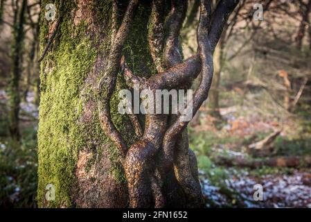 Les racines sinueuses tordues qui poussent sur le tronc couvert de mousse d'un arbre de hêtre - Fagus sylvatica - dans l'ancien bois de Draynes en Cornouailles.