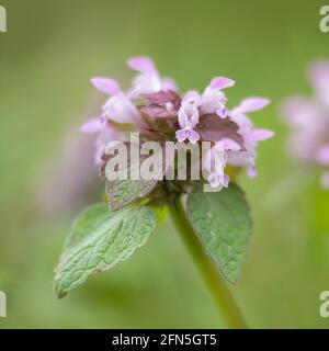 Fleurs d'ortie rouge, Lamium purpueum, au printemps sur fond vert