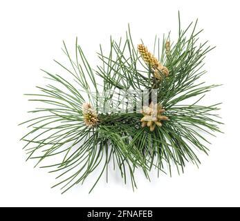 Branche de pin noir isolée sur fond blanc