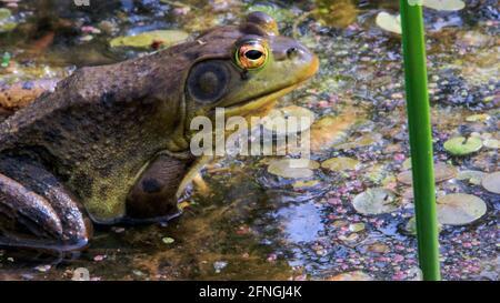 Lithobates catesbeianus - une série de photos montrant l'impressionnant bassification des amphibiens