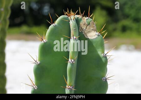 Acanthocereus tétragonus ou cactus Traingle est une espèce de cactus originaire de Floride. Également appelé Cactus barbelé, Chaco, poire épée