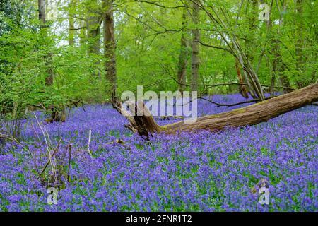 Une souche d'arbre déchu en cloches bleues anglaises (jacinthoides non-scripta) fleurit dans les bois au printemps à Surrey, dans le sud-est de l'Angleterre