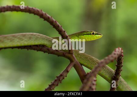 Le serpent à nez court - Oxybelis brevirostris, est un serpent arboricole qui se nourrit principalement de grenouilles et de lézards.