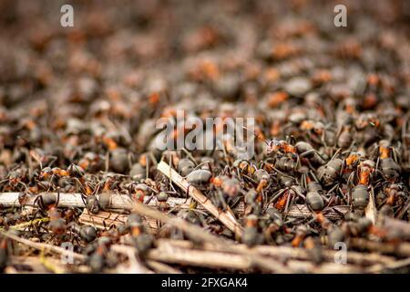 Grand anthill et nid de formica rufa, également connu sous le nom de fourn de bois rouge, fourn de bois sud, ou fourn de cheval, gros plan