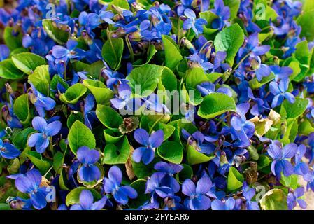 violet forêt lilas. Petites fleurs de printemps lumineuses. Arrière-plan.