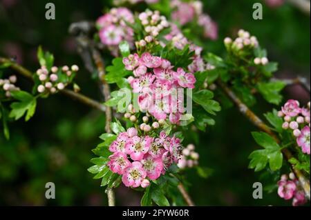 Pink Hawthorn Blossom (Crataegus monogyna), Foots Cray Meadows, Sidcup, Kent. ROYAUME-UNI
