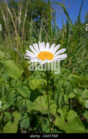 Une fleur de pâquerette (Bellis perennis), entourée de mauvaises herbes