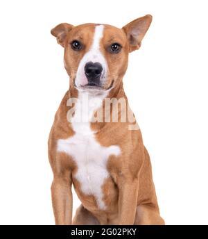 Gros plan rouge American Staffordshire terrier isolé sur fond blanc.One ear is up. Une oreille est en bas de Red American Pit Bull Terrier. Race mixte.