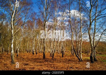 Royaume-Uni, Yorkshire du Sud, Barnsley, Birch argenté dans Dovecliffe Woods