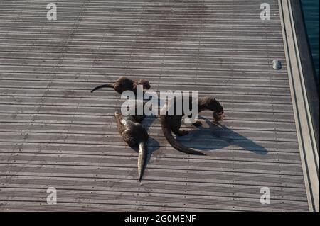 25.05.2021, Singapour, République de Singapour, Asie - Groupe de loutres à revêtement lisse de la famille des loutres bishan qui réside autour de Marina Bay.