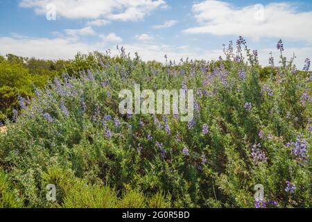 Lupin argenté (Lupinus argenteus) en fleur, des feuilles vert argenté bordent les tiges et des fleurs violettes ressemblant à des pois sont disposées en pointe.
