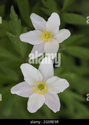 Anemone de bois (Anemone nemorosa) Queensdown Warren Kent Wildlife Trust, Kent UK, Stacked Focus, gros plan de fleur montrant des pétales et des étamines