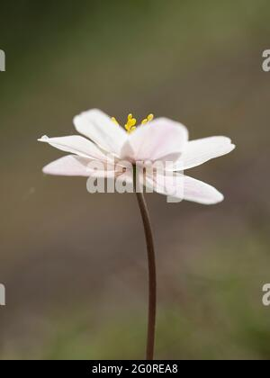 Anemone de bois (Anemone nemorosa) Queensdown Warren Kent Wildlife Trust, Kent, Royaume-Uni, gros plan de la tête de fleur en dessous montrant des pétales et des étamines, Backligh