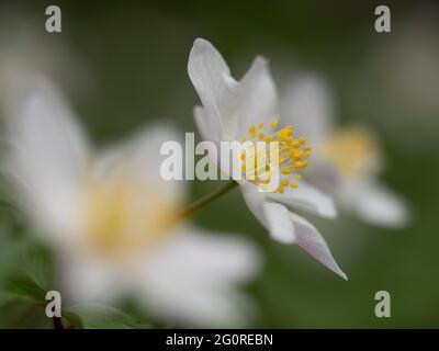 Anemone de bois (Anemone nemorosa) Queensdown Warren Kent Wildlife Trust, Kent, Royaume-Uni, gros plan de la tête de fleur montrant des pétales et des étamines