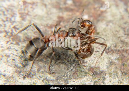 Ant en bois rouge au printemps