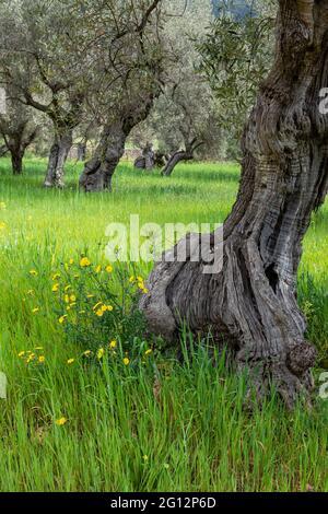 Oliviers centenaires de l'Alqueria d'Avill, Bunyola, Majorque, Iles Baléares, Espagne.