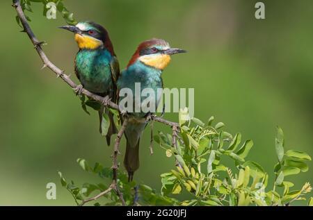 Deux mangeurs d'abeilles européennes (Merops apiaster) perçant sur une branche