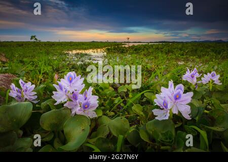 Belles fleurs de nénuphars au bord du lac de Refugio de vida Silvestre Cienage las Macanas réserve naturelle, province de Herrera, République du Panama.