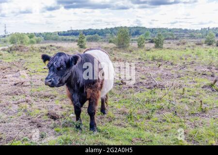 Vache Galloway à ceinture avec long pelage caractéristique et large ceinture blanche, une race écossaise traditionnelle de bovins de boucherie à Chobham Common, Surrey