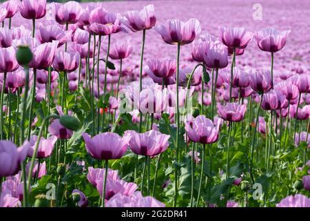Champ avec des plantes de pavot à opium en fleurs