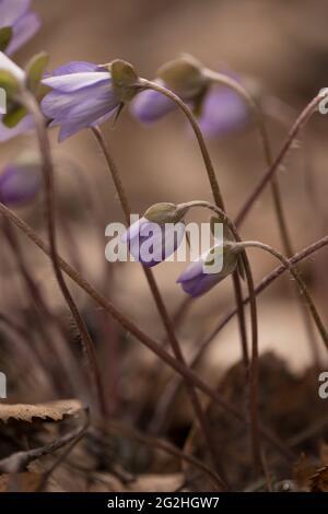 Anemone hepatica, (Hepatica nobilis), hepatica commun, kidneywort, liverwort, Pennymoort, plante à fleurs, Finlande