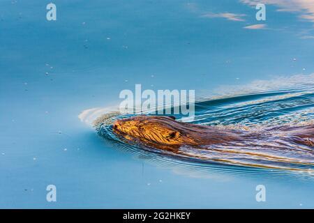 Wien, Vienne, castor eurasien ou castor européen (fibre de Castor) nageant dans la rivière Neue Donau (Nouveau Danube) en 22. Donaustadt, Wien, Autriche