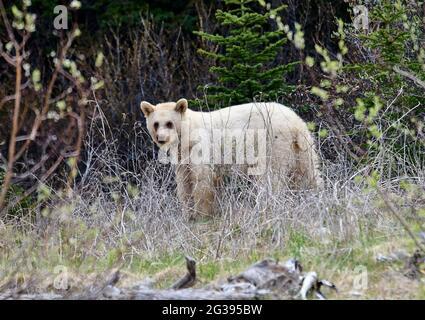 Mutation blanche très rare de l'ours noir américain (Ursus americanus), parc provincial Spary Lakes, Kananaskis Country (Alberta).