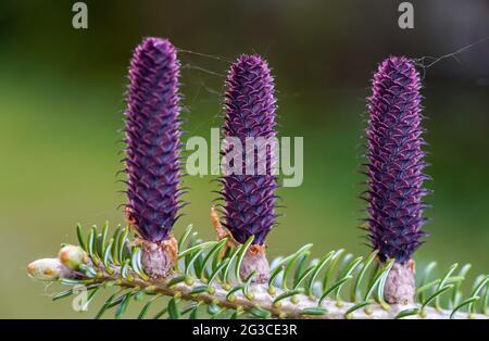 Jeunes cônes d'épinette pourpre (espèce d'abies) poussant sur la branche avec le sapin, détail gros plan
