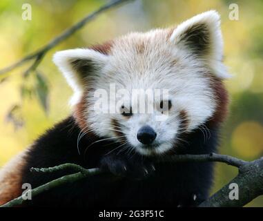 Gopher panda
