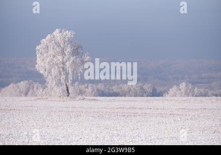 Bouleau solitaire dans le champ. Bouleau surgelé recouvert de givre et de neige.