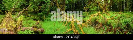 Paysage avec herbe verte et arbres tombés, Quinault Rainforest, Washington, Etats-Unis