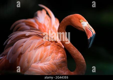 Flamingo au soleil, Zoo de Rostock, Allemagne Mecklembourg-Poméranie occidentale, Mer Baltique