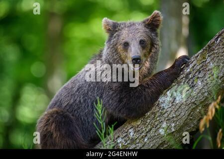 Ours brun sauvage (Ursus arctos) dans la forêt d'été. Animal dans l'habitat naturel. Scène de la faune