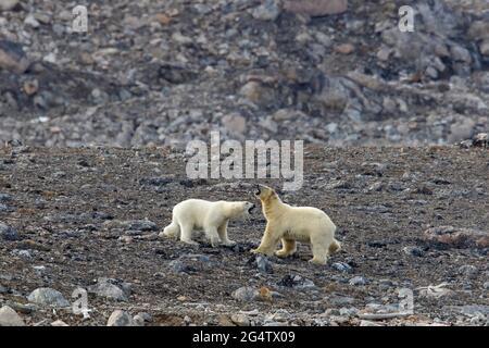 Ours polaire (Ursus maritimus) femelle combattant avec des mâles le long de la côte rocheuse à Svalbard / Spitsbergen, Norvège