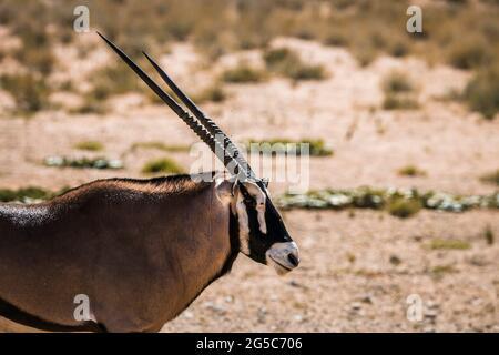 Portrait d'Oryx sud-africain vue latérale dans le parc transfrontier de Kgalagadi, Afrique du Sud; espèce Oryx gazella famille des Bovidae