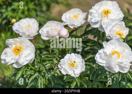 Peony Chalice Saunders, 1929 USA - de magnifiques fleurs qui ressemblent à une soucoupe blanche, composée de pétales inférieurs, courbées à angle droit et situées dessus