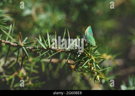 Scène tranquille au printemps avec un gros plan de papillon vert hairstrie dans une forêt à feuilles persistantes sur un genièvre, Tirol, Autriche