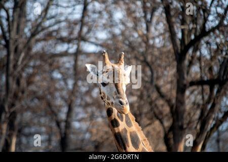 Vue rapprochée de la girafe sur fond flou