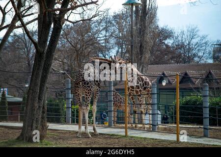 Deux belles girafes s'embrasent dans le zoo