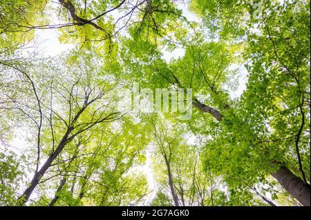 Forêt de hêtre au printemps, mai, Hesse, Allemagne
