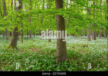 Ail sauvage dans la forêt de hêtres, printemps, mai, Hesse, Allemagne